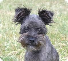 affenpinscher breeders texas bunny adopted dog mocksville nc schnauzer miniature