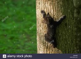 american black ursus americanus cub climbing