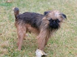 affenpinscher brussels griffon rescue brussels griffon breed and photos and videos list of dogs breeds