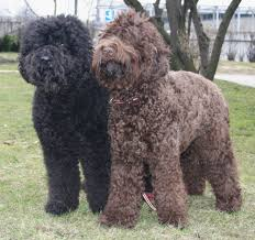affenpinscher wiki only 4 in 50 women can name the 50 most popular dog breeds playbuzz