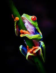 eyed tree frog picture of peace lodge heredia tripadvisor