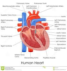 Human Anatomy Diagram Download Anatomy Of The Heart Review Sheet The Human Heart Anatomy Human
