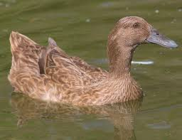 where to buy duck where to buy khaki cbell ducks cackle hatchery efowl