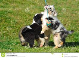 australian shepherd embroidery designs australian shepherd aussie puppies with toy stock photos image