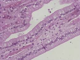 Human Anatomy Flashcards Anatomy Of Stratified Columnar Epithelium Human Anatomy Classes Of