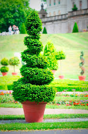 Topiary Cloud Trees - how to prune a cloud topiary