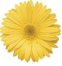 gerbera daisies gerbera yellow wedding flowers