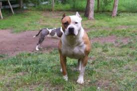 american pitbull terrier a legacy in gameness history