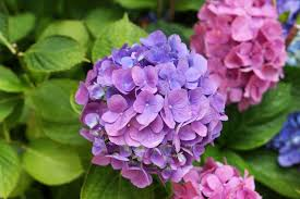 Hydrangea by Poisoning In Dogs Symptoms Causes Diagnosis Treatment