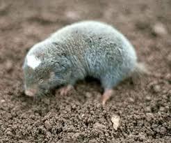 Moles Blind Fynbos Biomes Of South Africa