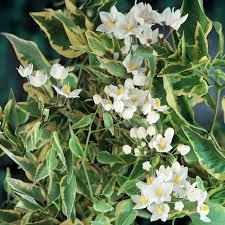 solanum jasminoides variegata climbing plant plants plus online