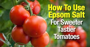 how to use epsom salt for sweeter tastier tomatoes