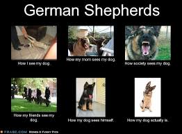 Meme Generator What I Do - german shepherds meme generator what i do german shepherd