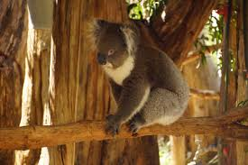 australian native climbing plants free images tree nature cute bear wildlife wild zoo fur