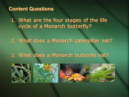 cycle of a monarch butterfly how does a egg become a