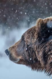137 best montana grizzlies images on pinterest montana montana
