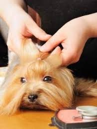 yorkie hair cut chart yorkie grooming yorkshire terrier information center