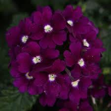 purple flowers proven winners lanai royal purple with eye verbena live plant