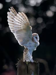 Barn Owl Photography 143 Best Owl Photography Images On Pinterest Owls Photography