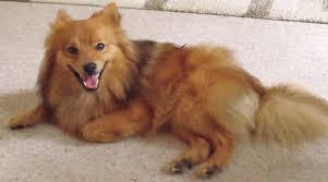 american eskimo dog jack russell mix dog spitz small ράτσες