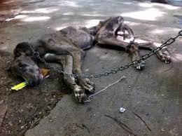Great Dane Meme - great dane dies after being left chained on chennai road has