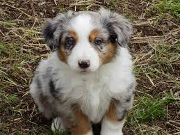 6 month australian shepherd view ad australian shepherd puppy for sale oregon prineville usa