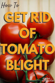 how to get rid of tomato blight and prevent it next year