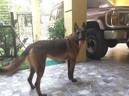 belgian sheepdog for sale philippines belgian malinois stud service for sale philippines find new and