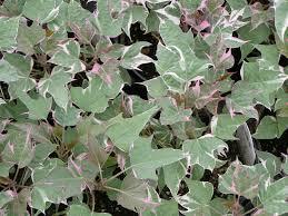 tri color ipomoea sweet potato vine