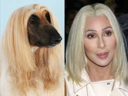 afghan hound blonde sarah jessica parker and an afghan hound celebrity lookalikes