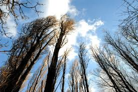 looking up at trees free photo files 1396115 freeimages