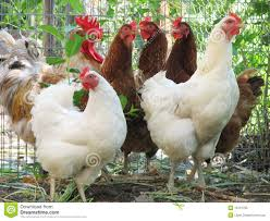 group of hens and roosters isolated royalty free stock image