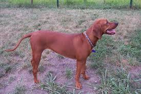 bluetick coonhound basset hound mix redbone coonhound wikipedia