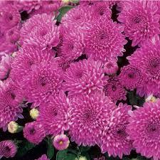 mums flower shop 1 5 gallon purple mum l17744 at lowes com