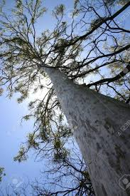Above The Canopy by Looking Up A Tall Tree To The Canopy Above Gum Tree Australia