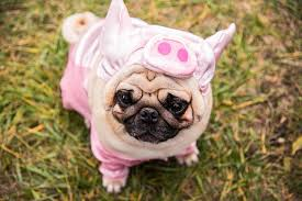 Halloween Costumes Pig Cutest Halloween Costumes Pets Margaritaville Blog
