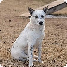 american eskimo dog brown andy adopted dog stillwater ok american eskimo dog