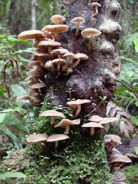 Types Of Garden Fungus - fungi u2013 te ara encyclopedia of new zealand