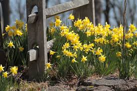 Ideas For Daffodil Varieties Design Always Room For Daffodils Longfield Gardens