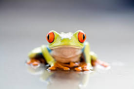11 colorful facts about the eyed tree frog mental floss