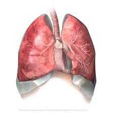 Human Anatomy Respiratory System Zygote 3d Female Respiratory System