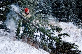 o tannenbaum christmas trees and climate change kcet