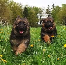 long haired west german showline german shepherd puppies long haired west german showline german shepherd puppies zuflucht k9s https
