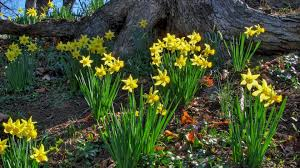 download wallpaper 1920x1080 daffodils flowers sunny spring