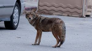 Can Coyotes See Red Light Is It Time To End Coyote Hunting In California Kcet