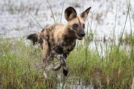 safari ltd african wild dog african wild dog a top favourite remarkable africa