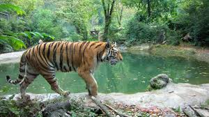 sideview of a tiger cc content