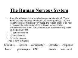 How Does A Reflex Arc Work In A Nervous System A Reflex Arc The Story Of A Pin Learning Outcomes Explain