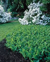 Lily Of The Valley Flower Gardening Lily Of The Valley Martha Stewart