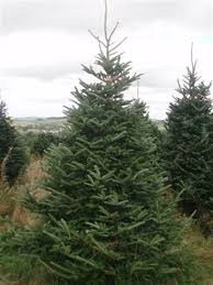 fraser fir tree real fraser fir christmas trees freshly cut christmas trees